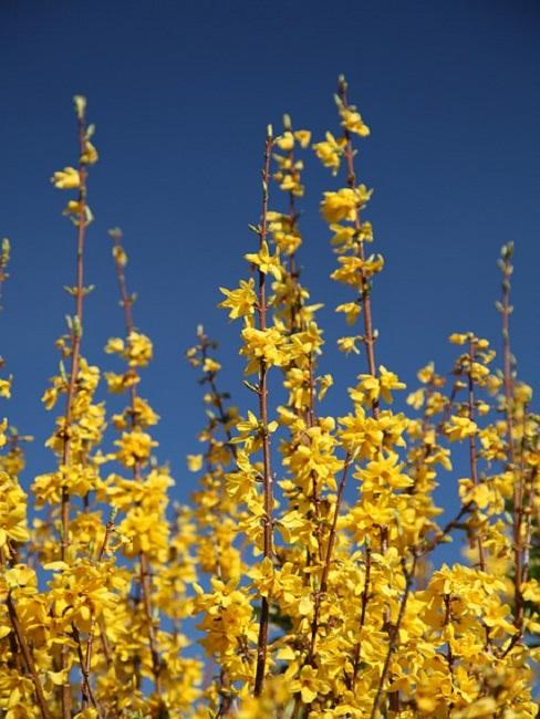 Jasminpflanze vor blauem Himmel