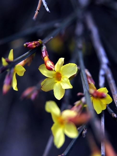 Winterjasmin Blüte