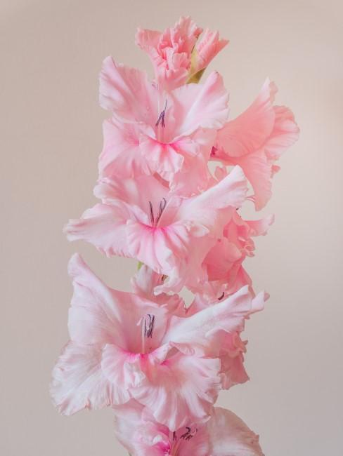 rosa Gladiole