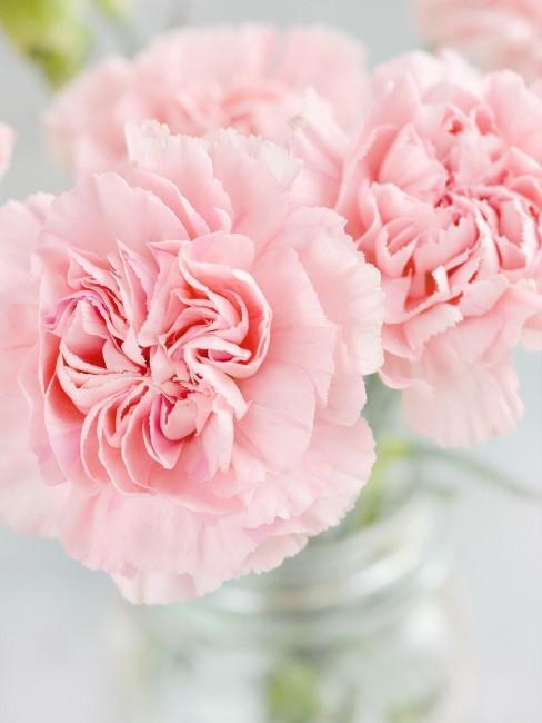 rosa Nelken