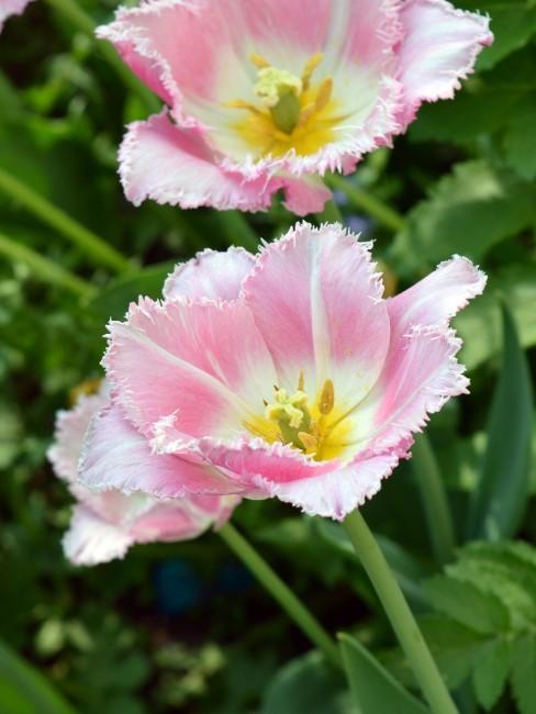 gefranste Tulpe in Rosa