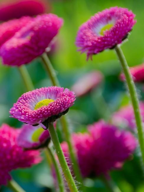 Gänseblümchen in Pink