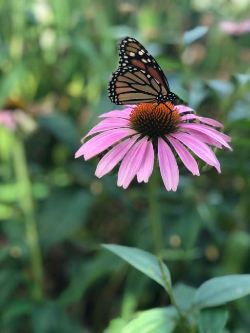 Rosa Sonnenhut mit Schmetterling