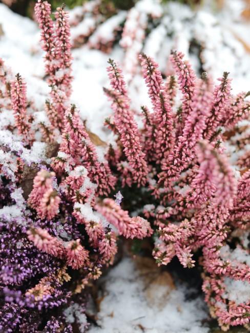 rosa Schneeheide