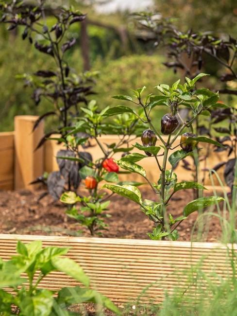 Chilis wachsen im Hochbeet aus Holz