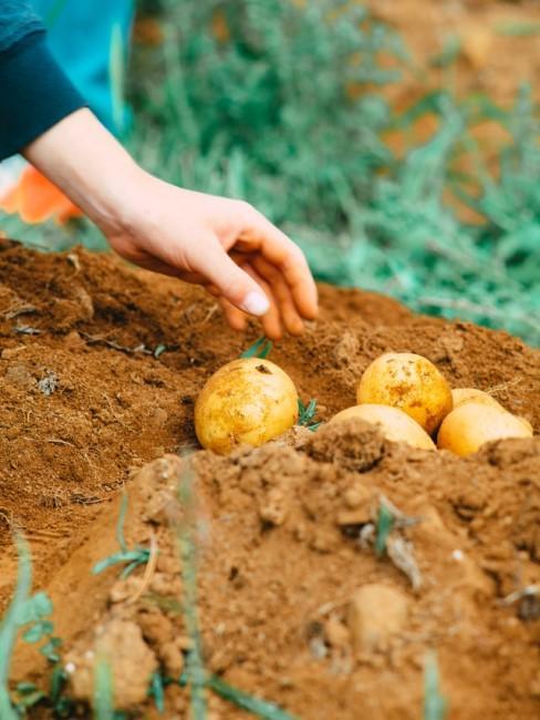 Kartoffeln neu in die Erde pflanzen