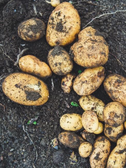 Kartoffeln als Gemüse fürs Regrowing