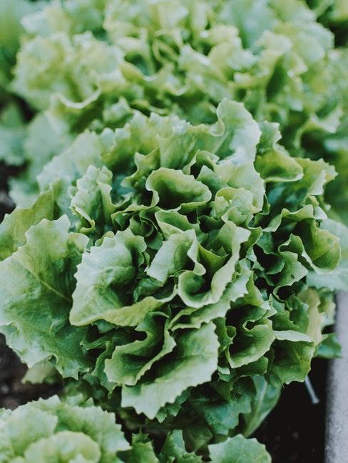 Regrowing von Salaten