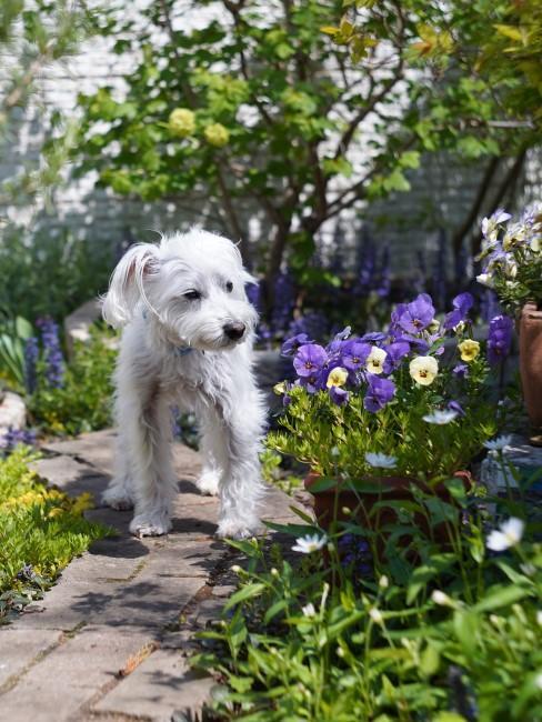 lila Gartenblumen mit Hund