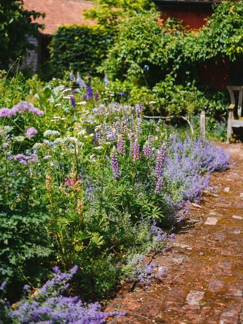 lila Stauden im Garten