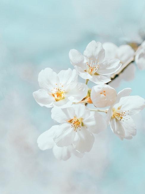Jasmineblüten am Strauch