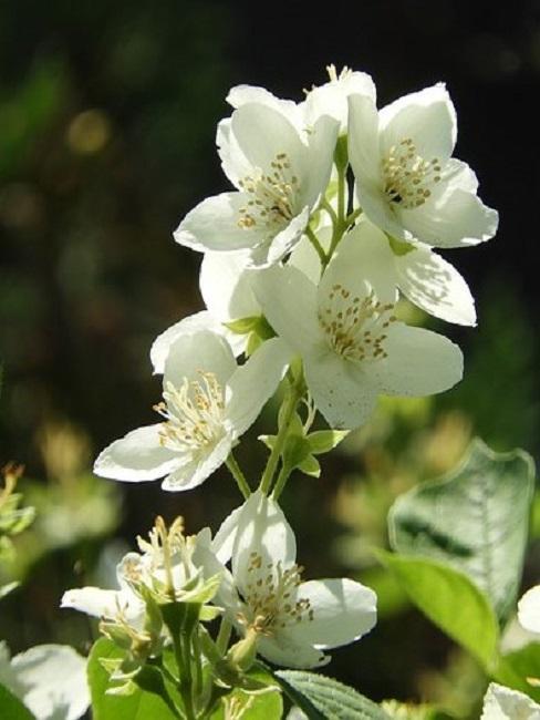 Jasminblüten im Garten