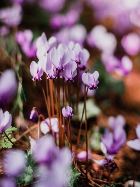 Vorfrühlings-Alpenveilchen