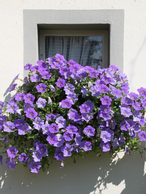 lila Petunien vor einem Fenster