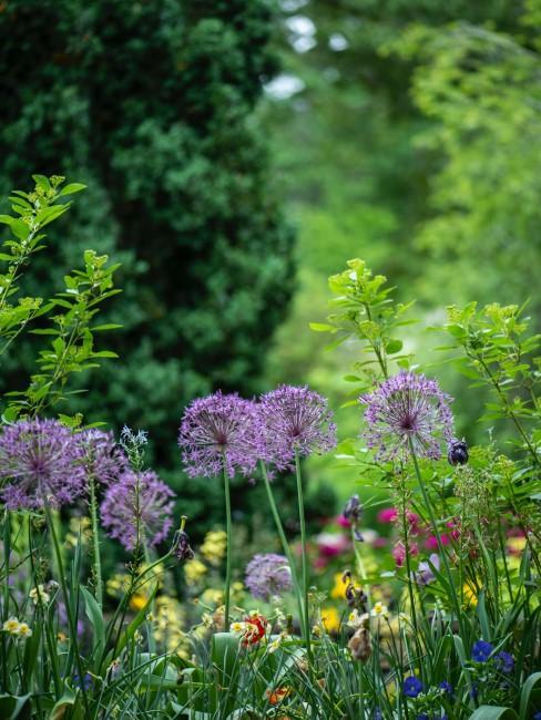 Allium auf der Wiese