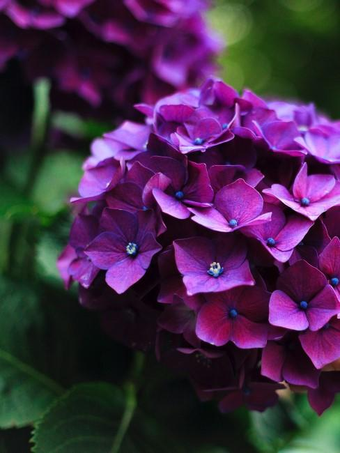 lila Hortensie