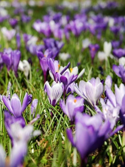 lila Krokusse auf der Wiese