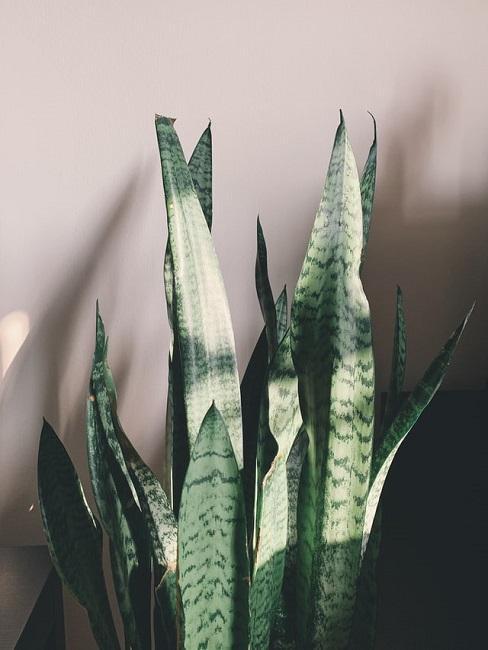 Blätter der Aloe vera im Sonnenlicht