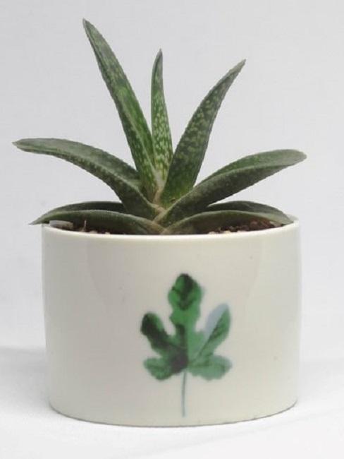 Aloe vera im Topf mit Ahornblatt