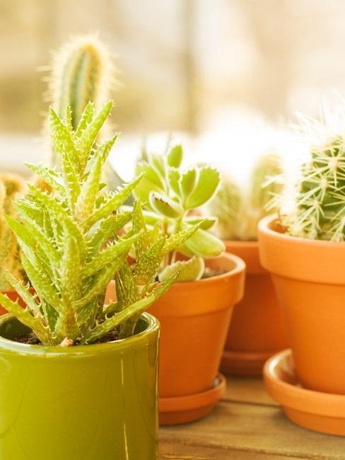 Aloe vera mit Sukkulenten in der Sonne