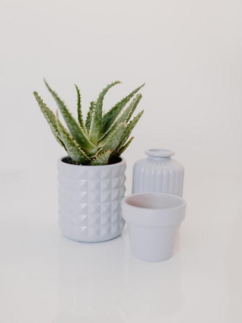 Aloevera in weißem Topf