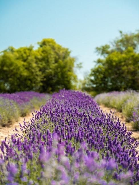 Lavendelfeld mit Bäumen im Hintergrund