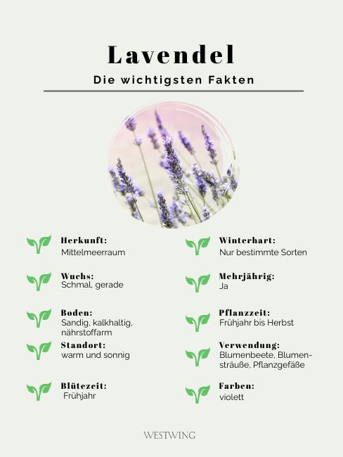 Grafik Lavendel die wichtigsten Fakten