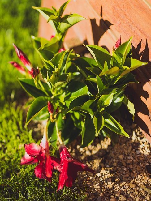 Dipladenia in der Erde eingepflanzt im Garten