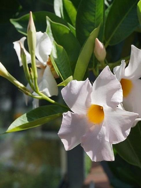 Weiße Dipladeniablüten im Freien