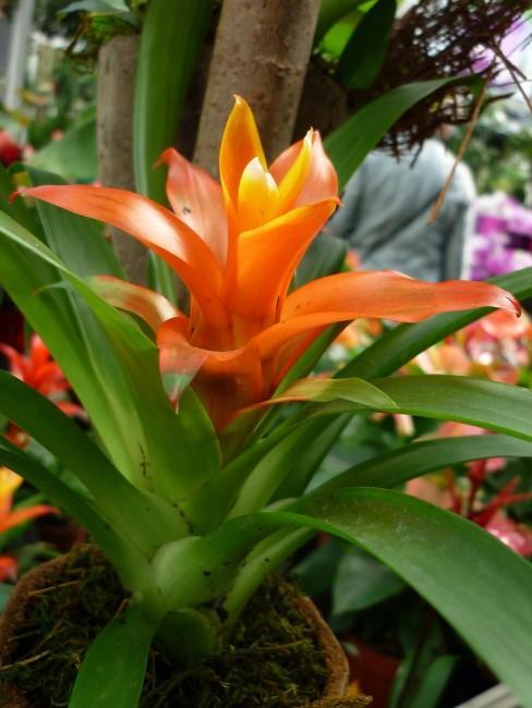 Bromelie in Orange