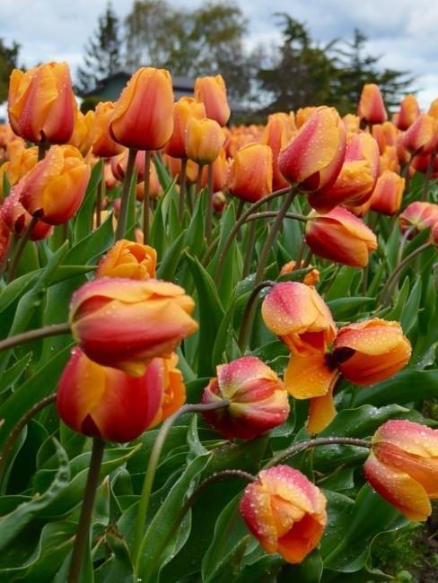 orange Tulpen auf dem Feld