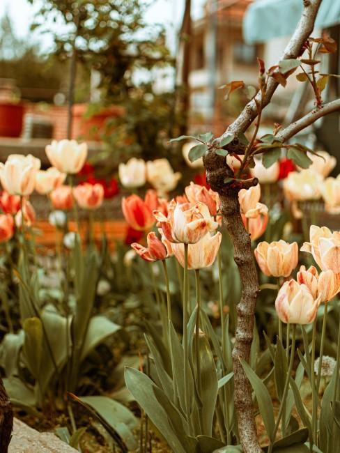 orange Tulpen im Garten