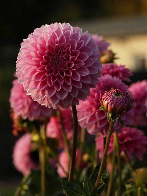 Schöne Blumen in Rosa