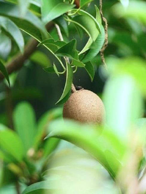 Kiwi Frucht an einer Kiwi Pflanze