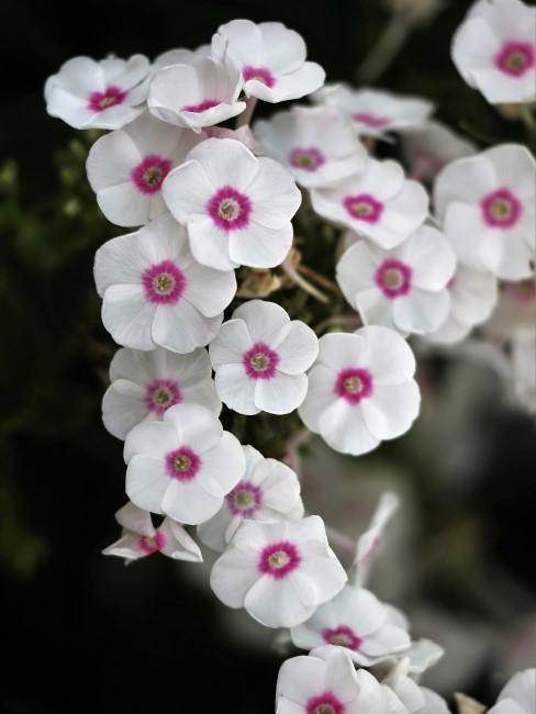 Phlox in Weiß mit Rosa