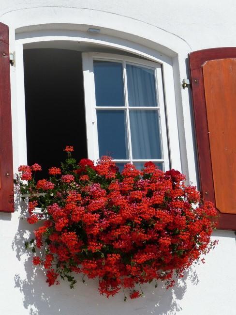 Geranie in Rot im Balkonkasten