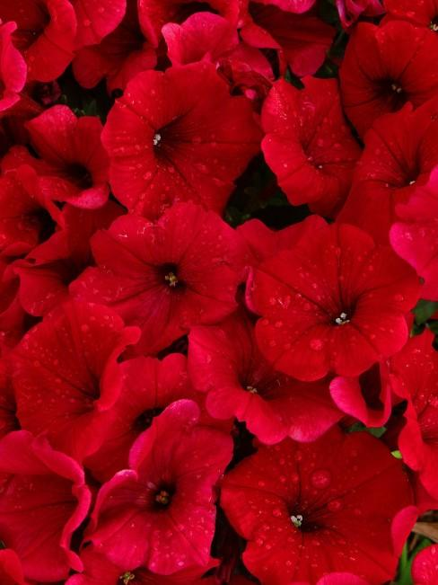 Petunien in Rot