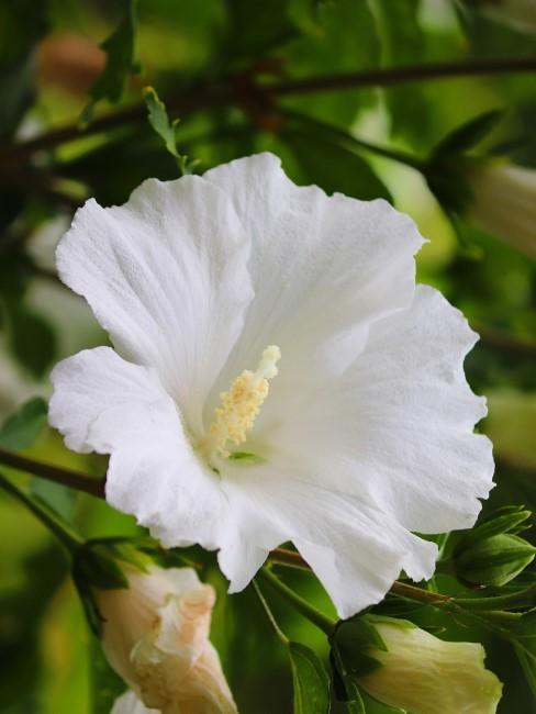 Hibiskus in Weiß
