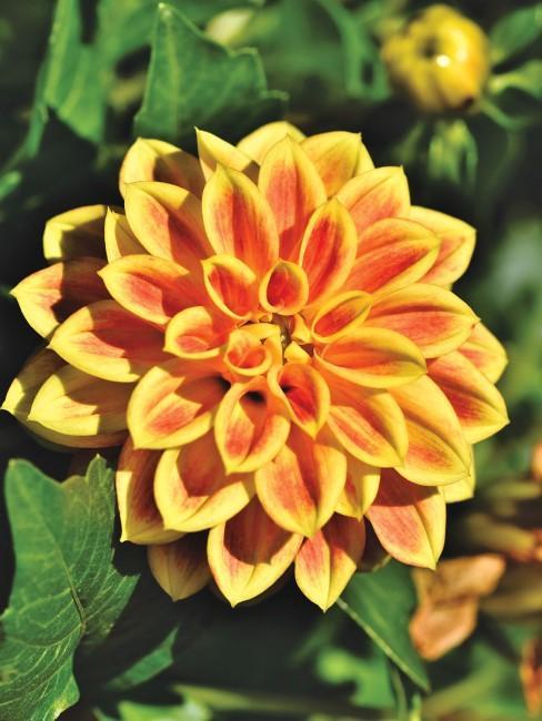 Dahlie in Gelb-Orange