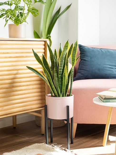 Schattenpflanze im Topf im Wohnzimmer vor einer Kommode und einem rosa Sofa