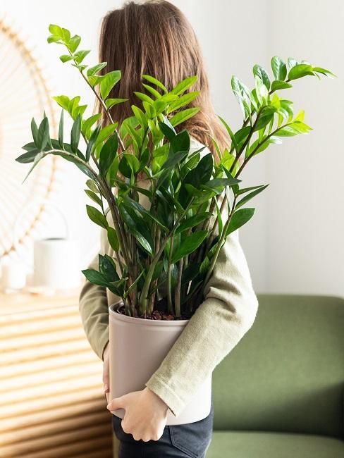 Schattenpflanze im Wohnzimmer im Arm