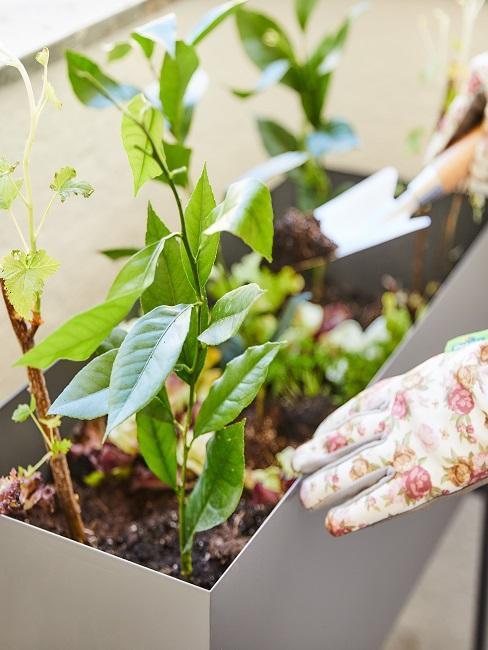 Frau bepflanzt einen Balkonkasten