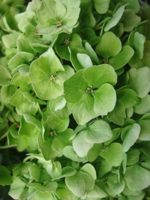 Blüten einer grünen Hortensie
