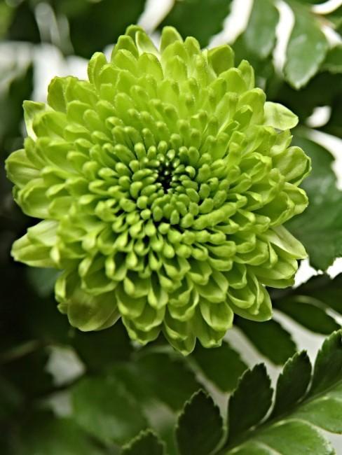 Grüne Chrysantheme
