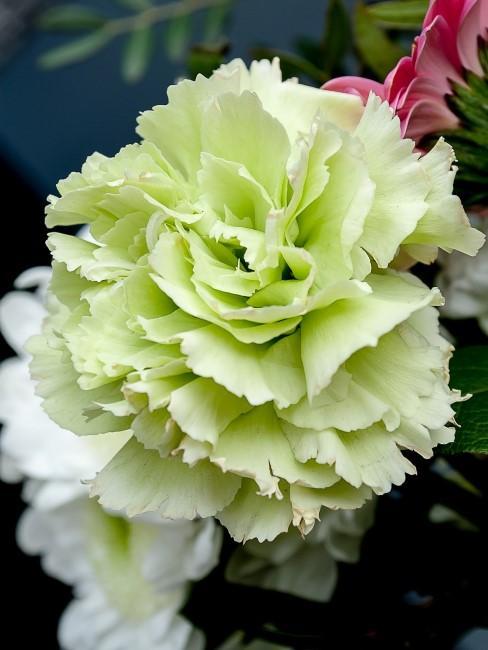 grüne Nelke