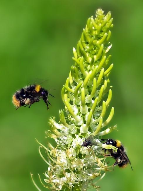 grüne Blume mit Bienen und Fliege