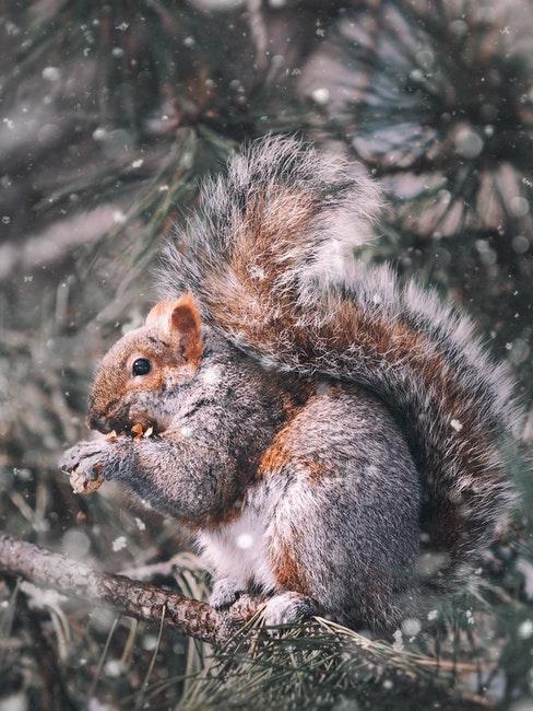 Eichhörnchen im winterlichen Garten