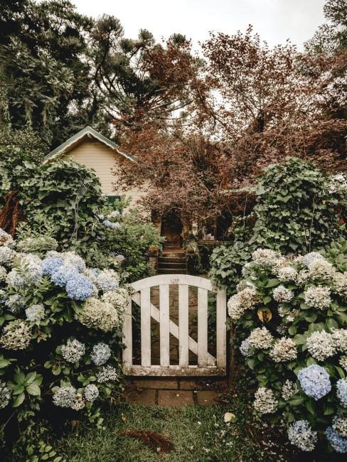 blaue und weiße Hortensien neben Gartentor