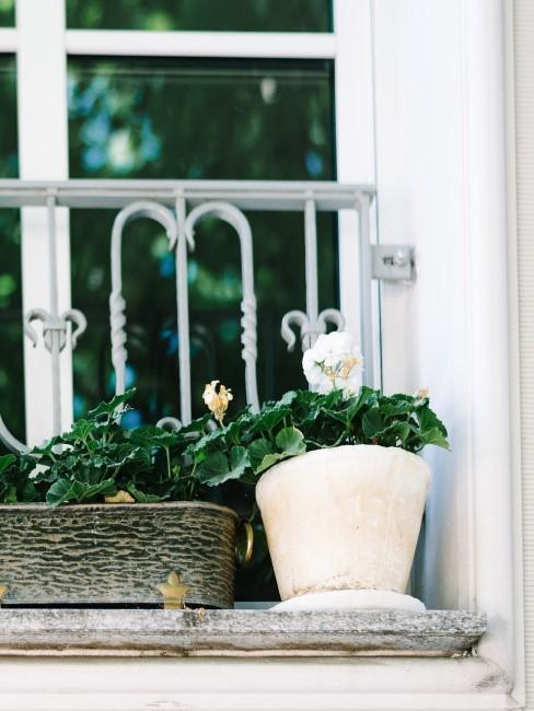 weiße Geranie auf dem Fenstersims