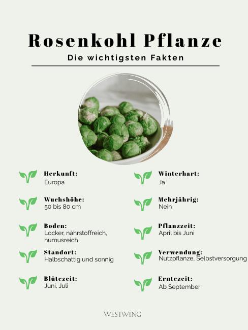 Grafik Rosenkohl Pflanze die wichtigsten Fakten